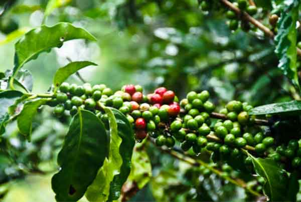 Feasibility study. Production of organic coffee, Republic of Costa Rica